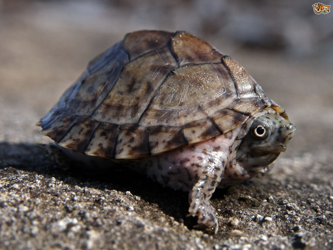 Musk Turtles The Biggest Attitude In A Little Turtle Pets4homes Musk Turtle Turtles For Sale Pet Turtle