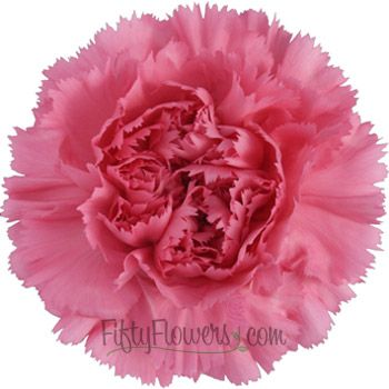 Watermelon Pink Carnation Flower Fiftyflowers Com Carnation Flower Carnations Pink Carnations