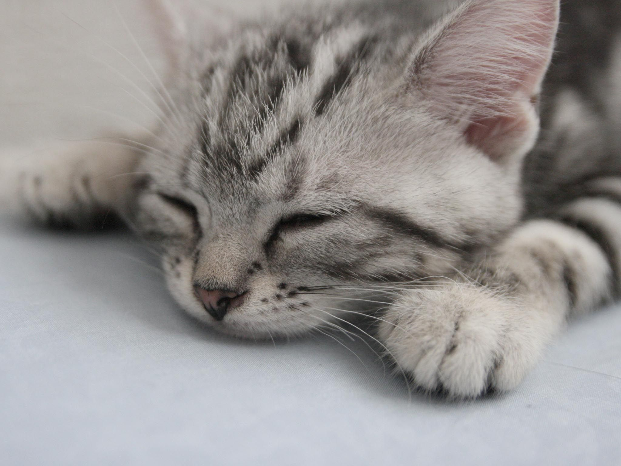 Cats And Kittens Pictures Cute Cat Is Sleeping American Shorthair Cat Kittens Cutest Cute Animals