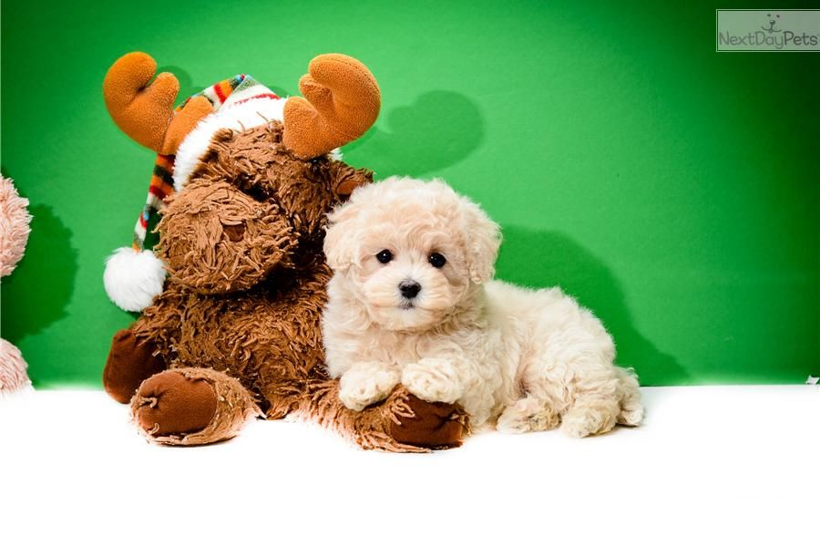 Meet Teacup Matthew A Cute Malti Poo Maltipoo Puppy For Sale For