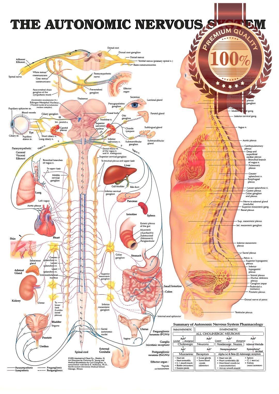 Photo of $11.95 AUD – The Autonomic Nervous System Anatomical Diagram Chart Print – Premi…