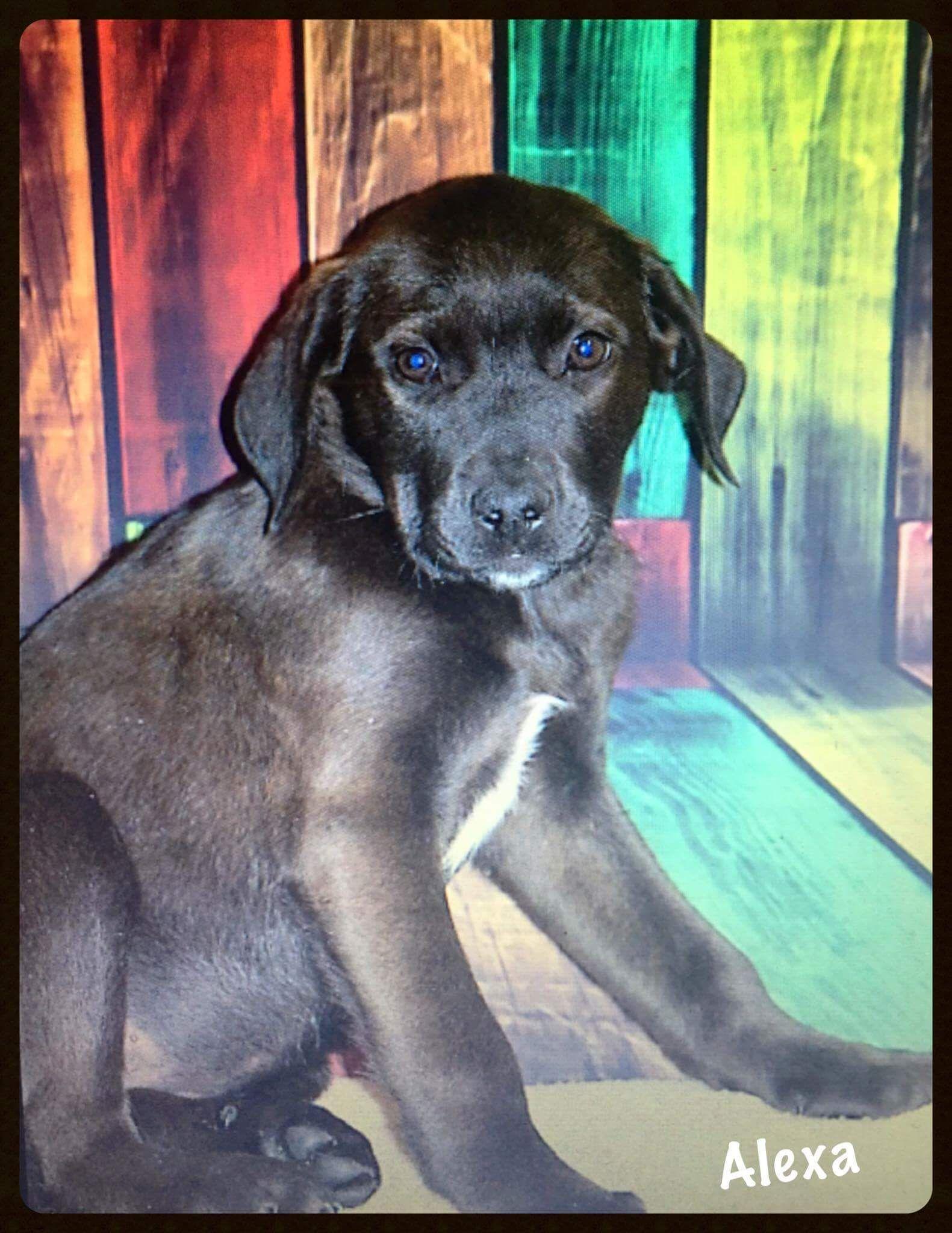 Boxador Dog For Adoption In Minneapolis Mn Adn 498457 On Puppyfinder Com Gender Female Age Baby Nickname Alexa Dog Adoption Dogs Animals