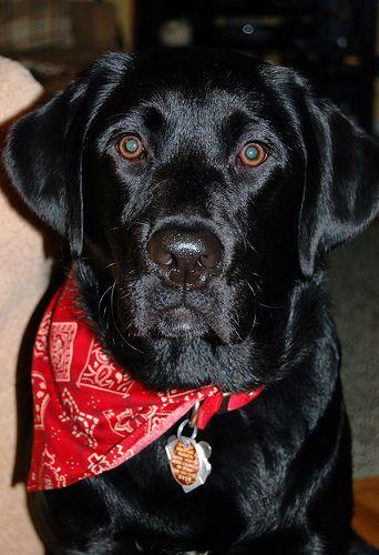 Black Lab W Bandana Labrador Retriever Labrador Black Labrador Retriever