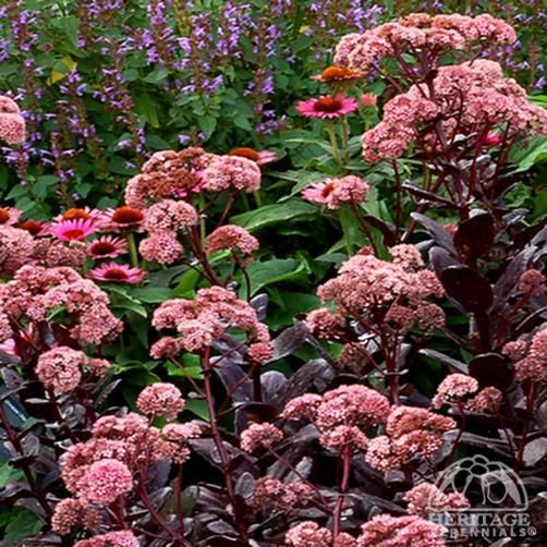 Sedum Telephium 'Chocolate Drop'