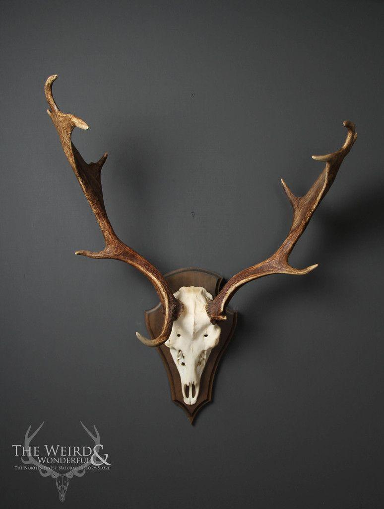 Fallow Deer Antlers on Shield - The Weird & Wonderful