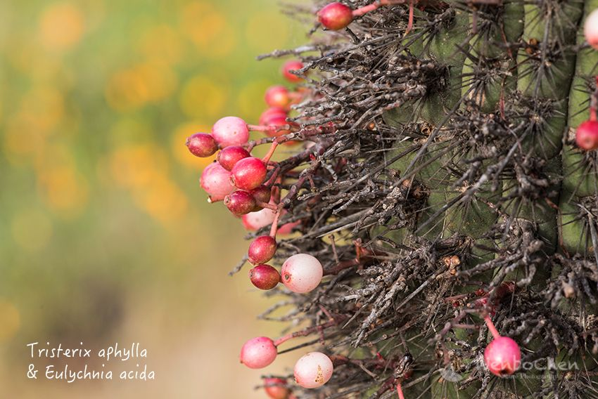 Only In Central Chile Mistletoes Grow On Cacti Tristerix Aphylla