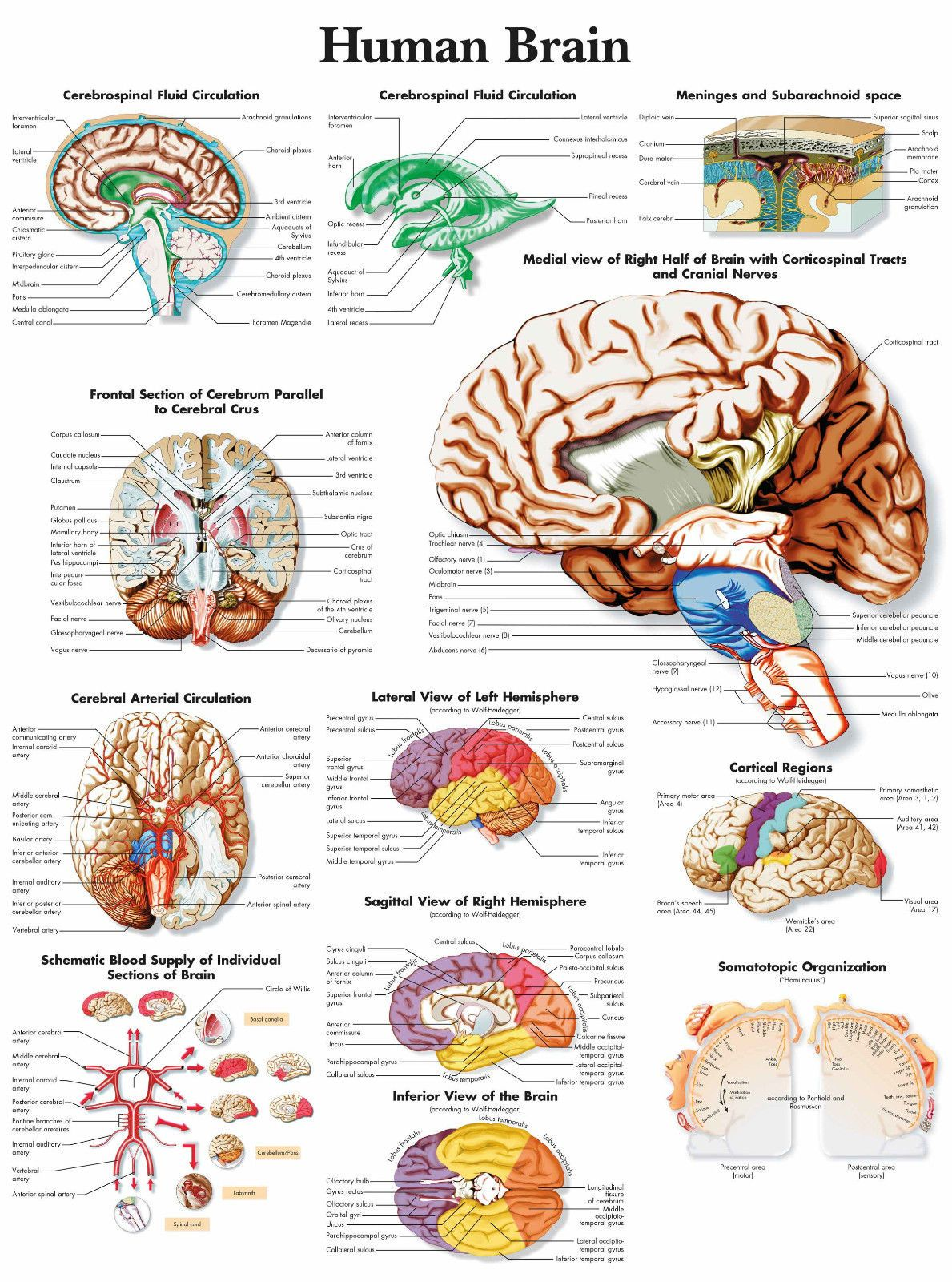 A3 Medical Poster U00 The Human Brain Text Book Anatomy