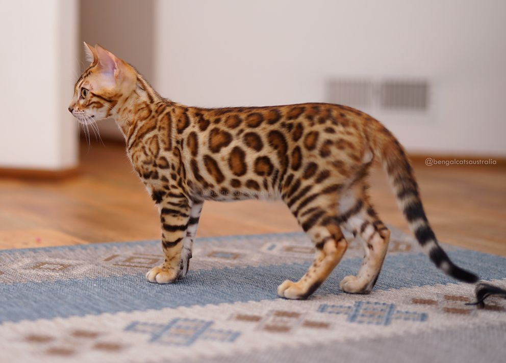 Meet The Bengal Cats And Kittens Of Ashmiyah Bengals Bengal Cats