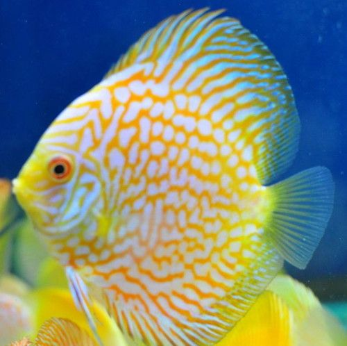 Discus Fish Sales 2 Inch Yellow Checkerboard Pigeon Discus For Sale Description From Discus Fish Sales Co Uk I Search Ryba Diskus Rybalka Ekzoticheskaya Ryba