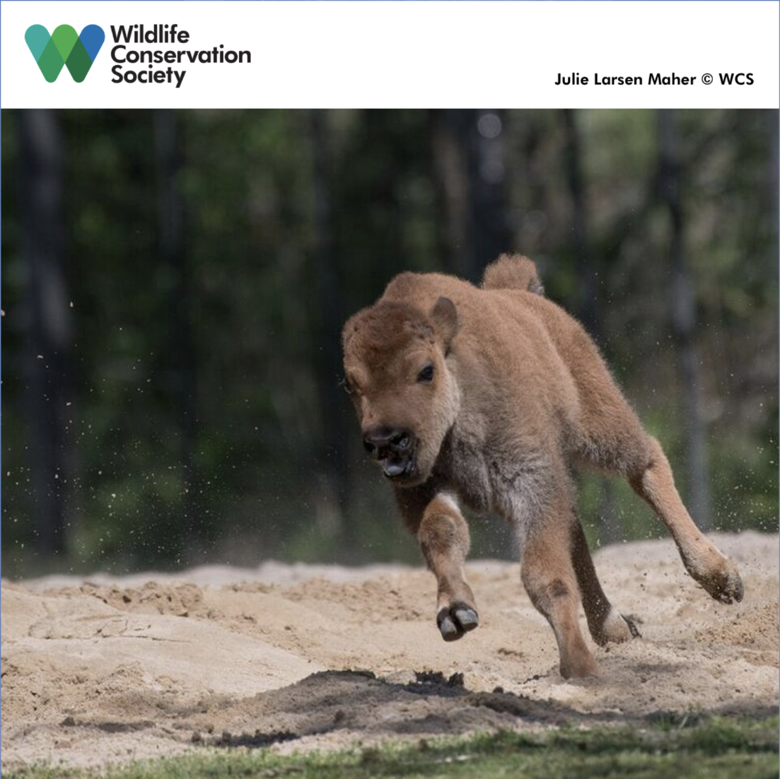 A Juvenile American Bison Runs Through Wcs S Bronx Zoo Bison Range