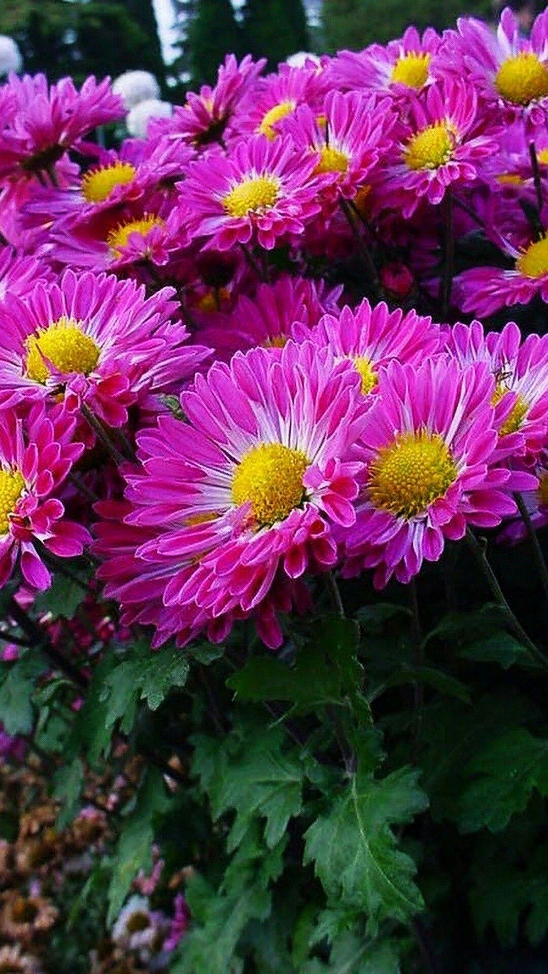 Pin by carolyn mangler on flowers i like pinterest flowers