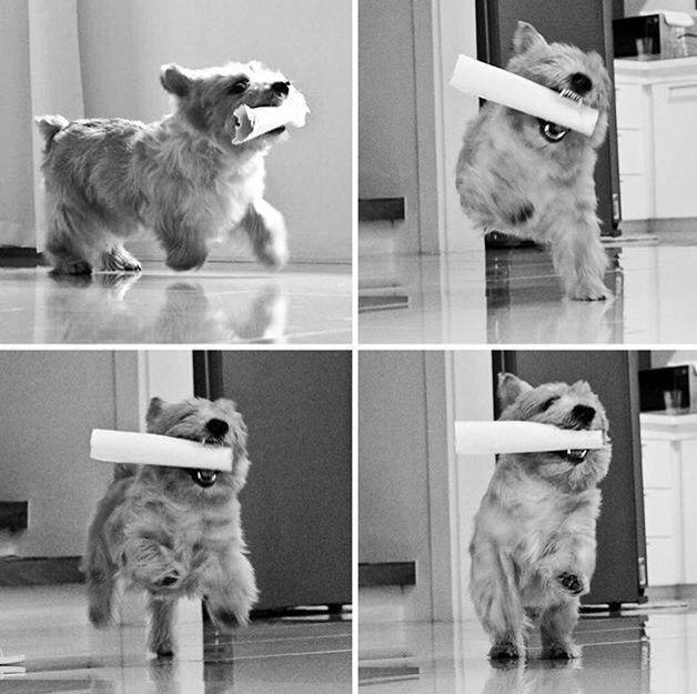 So cute Norwich terrier, Cairn terrier, Terrier dogs
