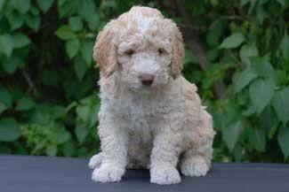 Spanish Water Dog Pup