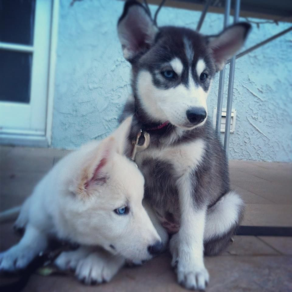 Two husky pups resting on the porch together.