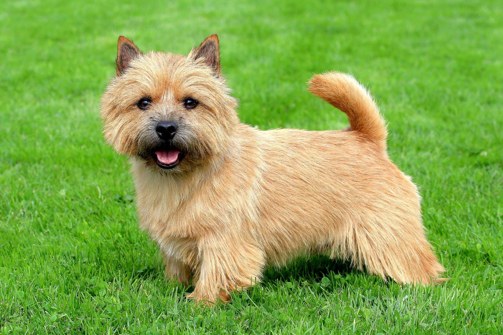 30 Uk Native Dog Breeds That Are At Risk Of Going Extinct Best Small Dogs Norwich Terrier Cute Small Dogs