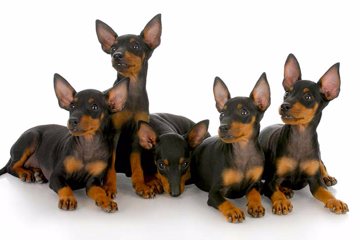 Manchester Terrier Toy Dog Breed Information American Kennel Club In 2020 Miniature Pinscher Puppy Toy Dog Breeds Terrier Dog Breeds