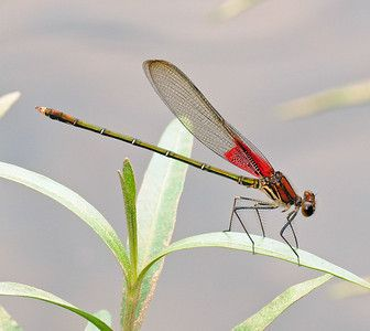 Hetaerina americana  Common Name American Rubyspot  Family Broad-winged Damsels (Calopterygidae)
