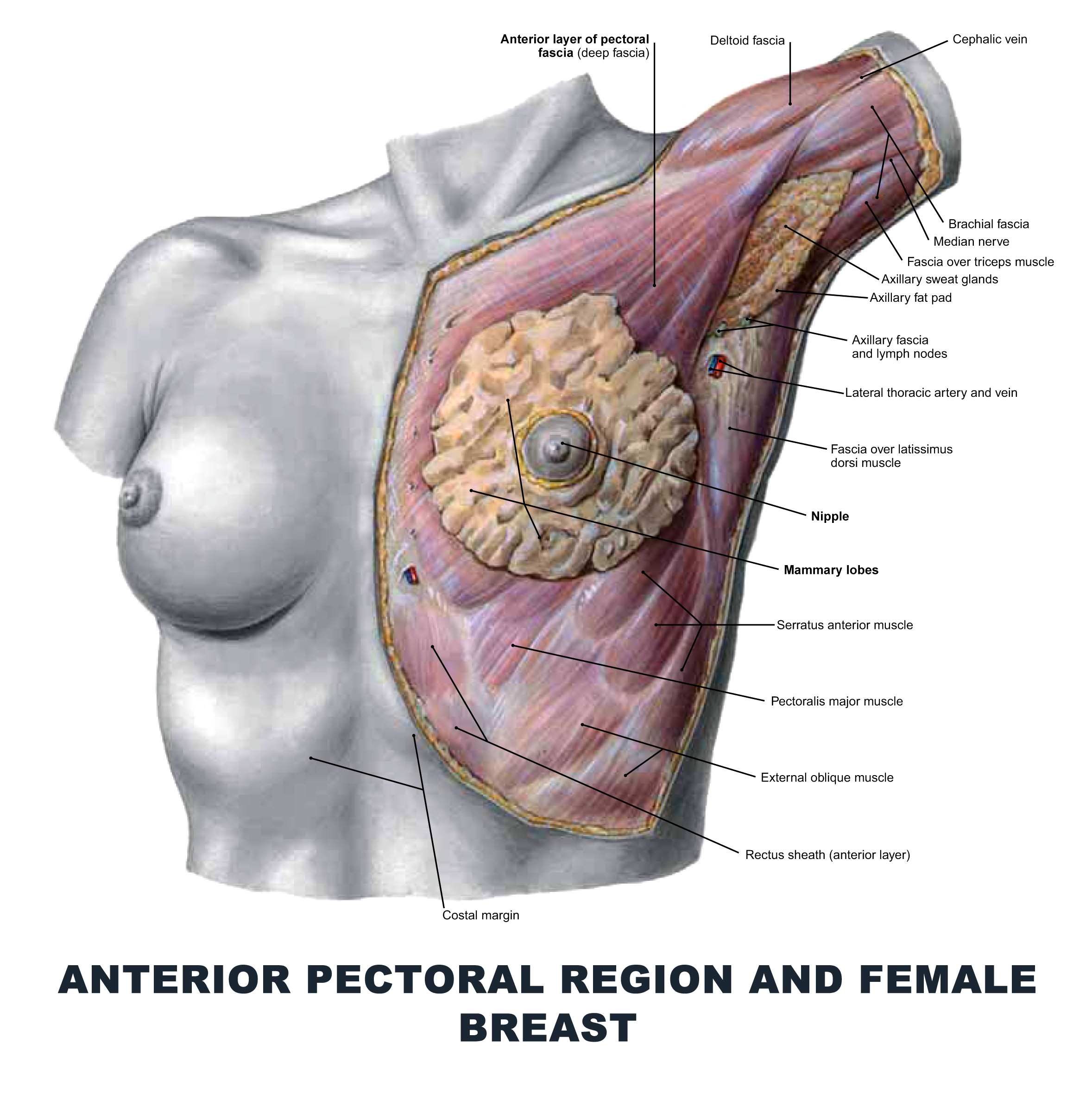 Anterior Pectoral Region and Female Breast - #anatomy images ...