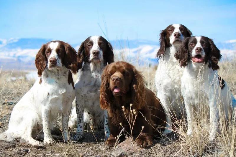 Hellfire In 2020 Sussex Spaniel Spaniel Dog Breeds