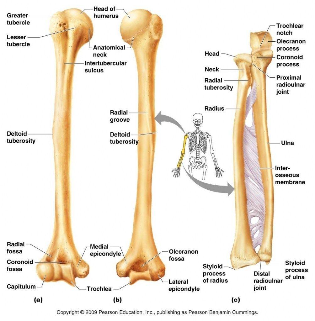 Arm Bone Diagram Arm Bone Diagram The Arm Bones Diagram