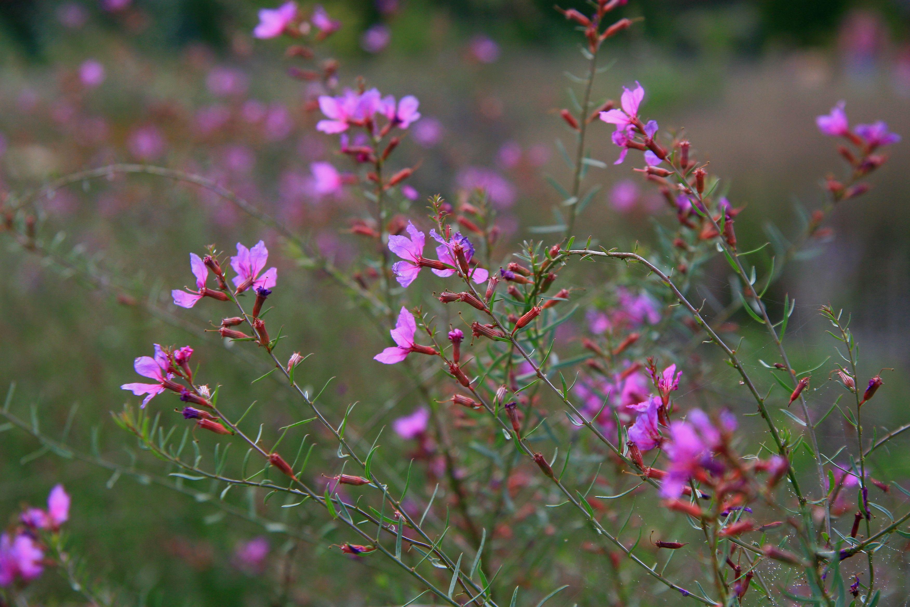 Lythrum virgatum swirl vlinderhof m ximapark utrecht for Designing with plants oudolf