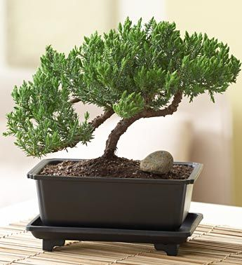 Green Mound Juniper Bonsai From 1 800 Flowers Com Juniper Bonsai Bonsai Plants Bonsai Tree Types