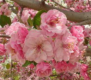 Crab Apple My Favorite Tree Flowering Crabapple Tree Pink Flowers Flowering Crabapple