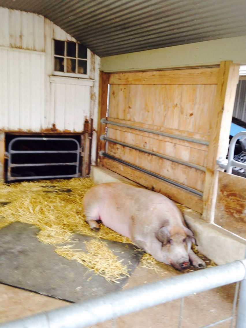 A HUGE pig!! And