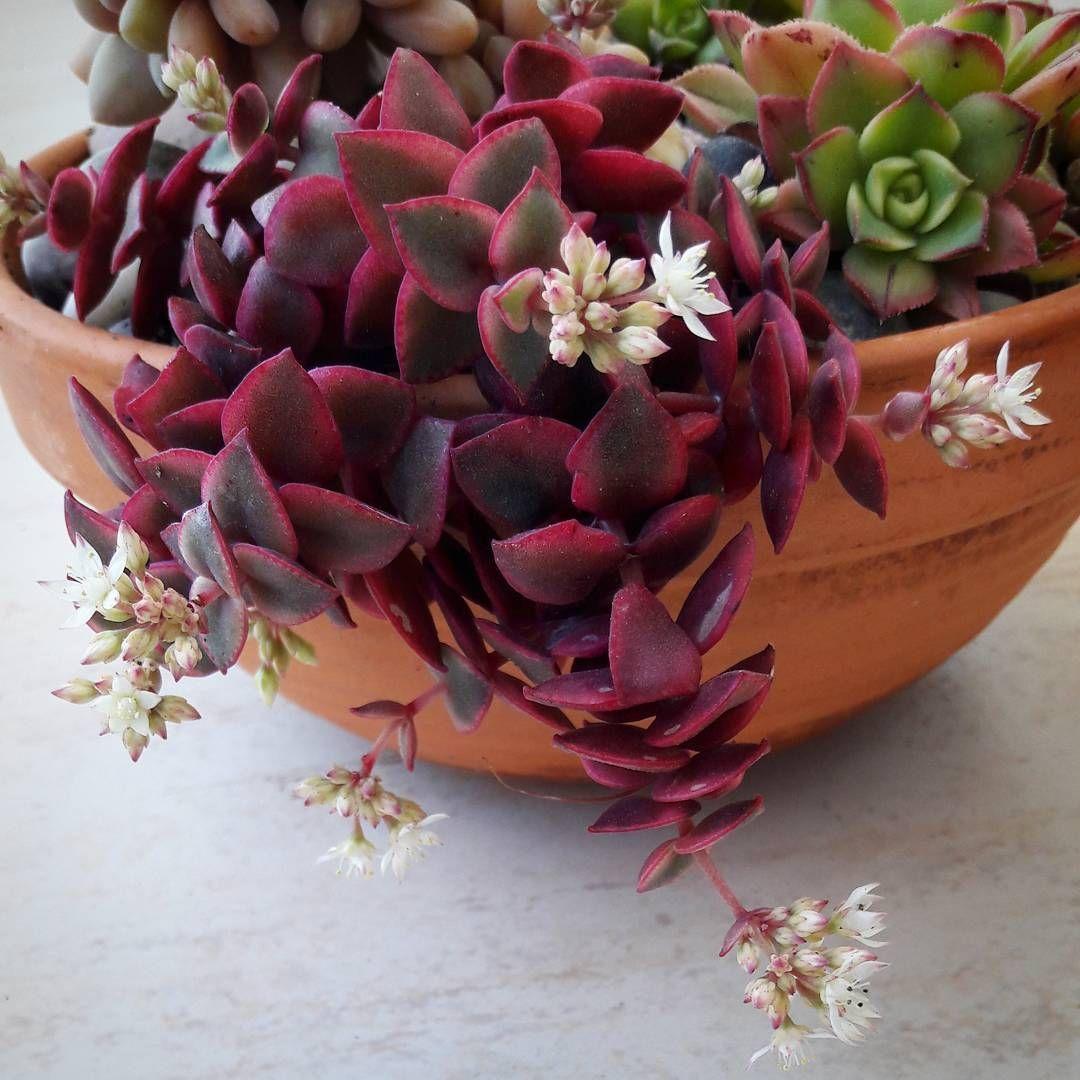 Blooming Calico Kitten Repost Sol Plantas Blooming Bloomingsucculent Succulentflower Succulent Succulent Garden Indoor Succulents Succulent Landscaping