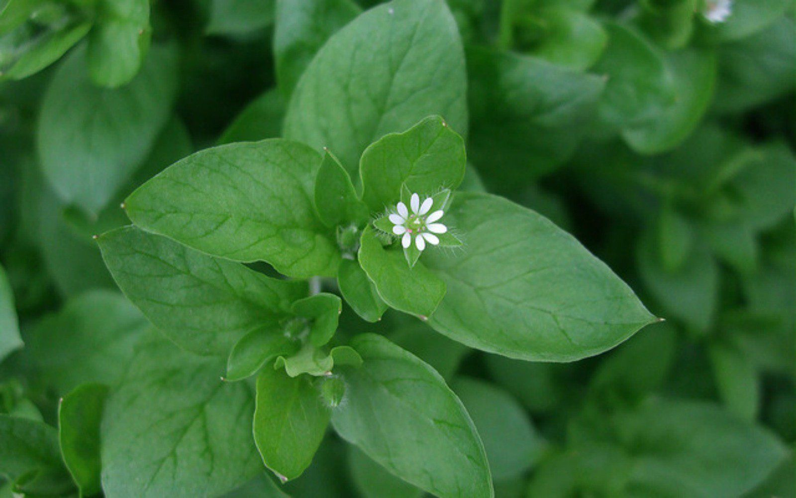 How To Easily Forage Chickweed And Why You Should Vegan Makeup Cruelty Free Makeup Vegan Cruelty Free Makeup