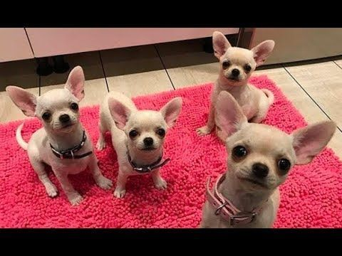 Funny and Cute Chihuahua Videos Funniest Chihuahua Dogs