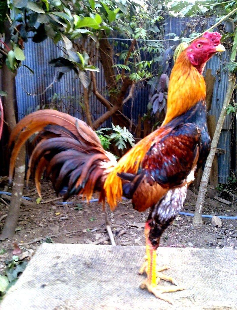 Ayam Juara: Cara Berternak Ayam Bangkok Aduan Juara