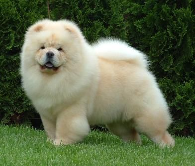 Chow Chow Anubiscanino Chow Chow Dog Puppy Chow Chow Dogs
