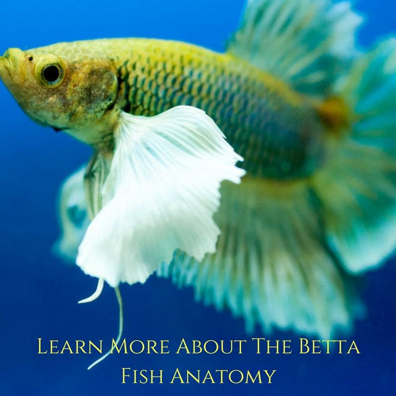 Everything You Need To Know About The Betta Fish Anatomy ...
