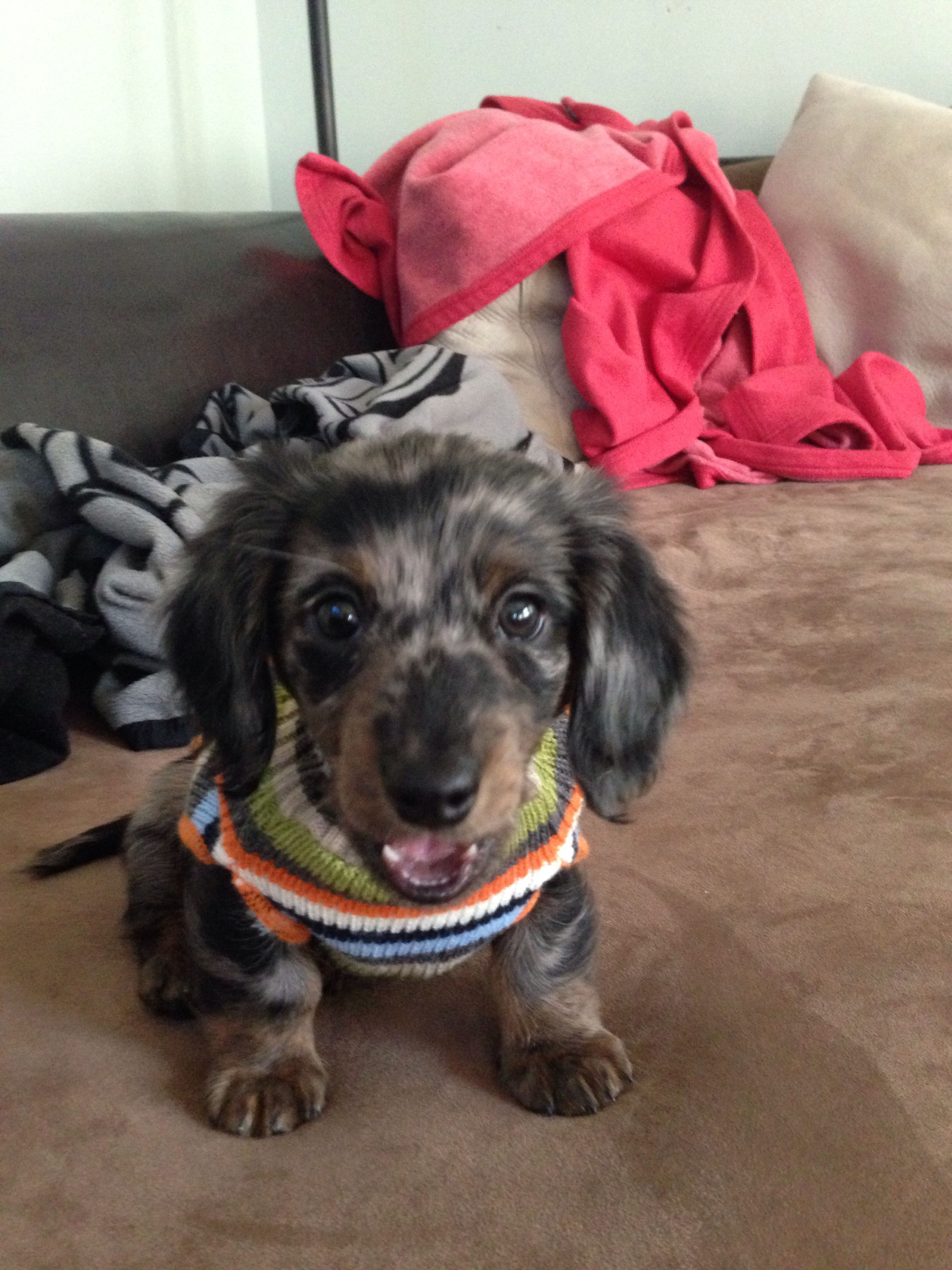 Mini long haired dachshund puppy! Dachshund lovers