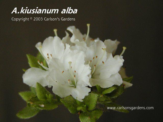 A Kiusianum Alba Dwarf Azalea Petite Evergreen Azalea The Dwarf White Form Of The Species Clusters Of Small Whi Dwarf Azaleas Small White Flowers Azaleas