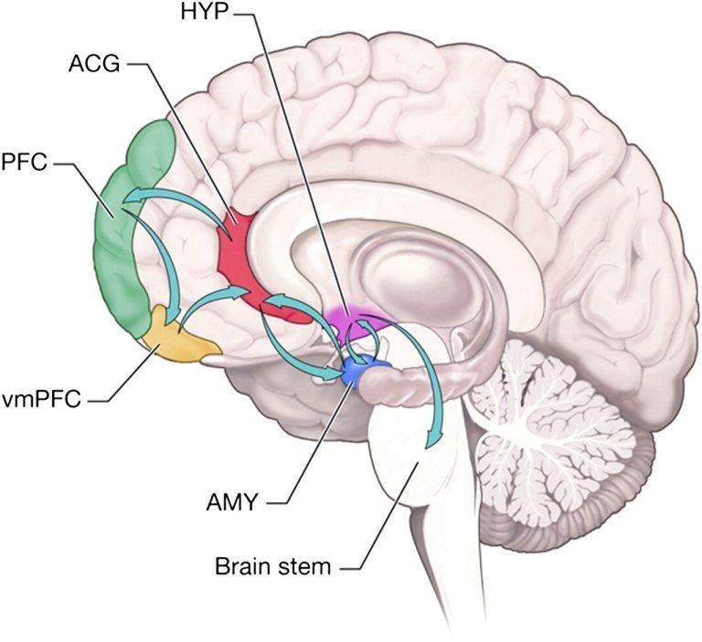 Pin de RHS en Neuro Science & Brain | Pinterest