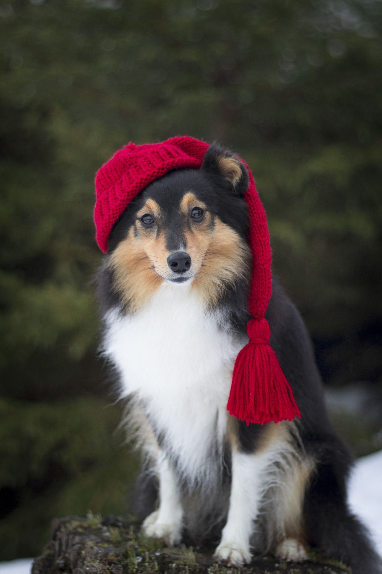"spartathesheltie ""Happy holidays everybody! "" Sheltie"