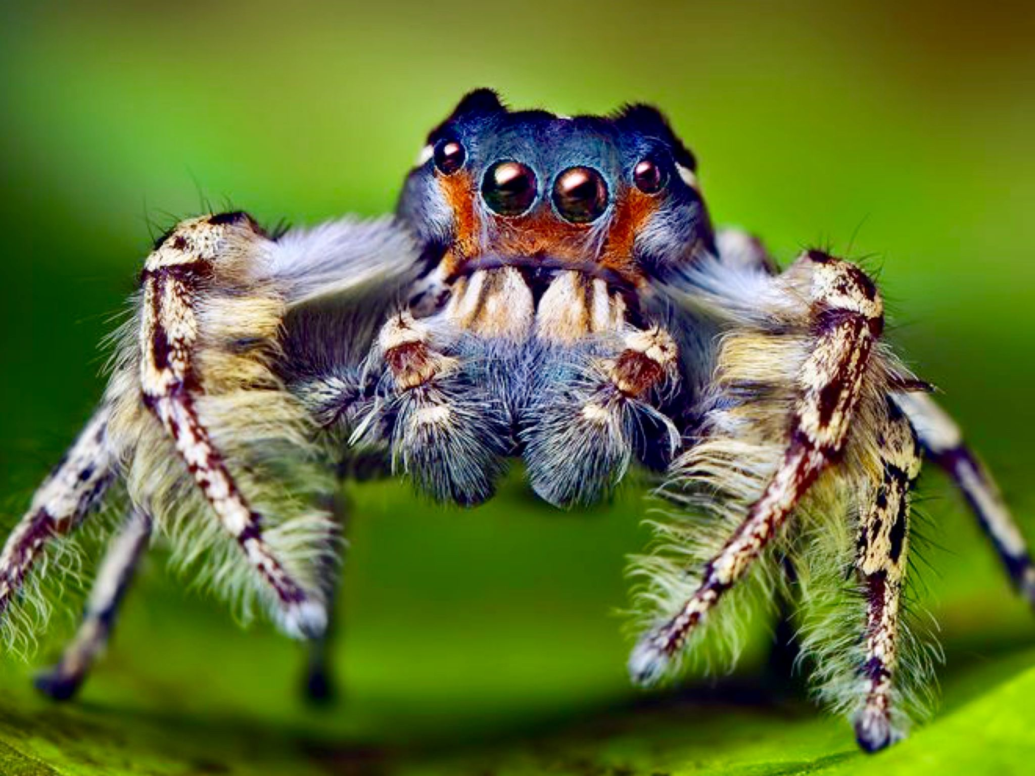 Pin by tin tin guy on jumping spiders eyes pinterest