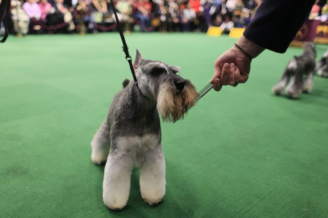 Everybody Loves Labradors So Why Are They Underdogs Westminster Dog Show Schnauzer Dogs Pampered Puppies