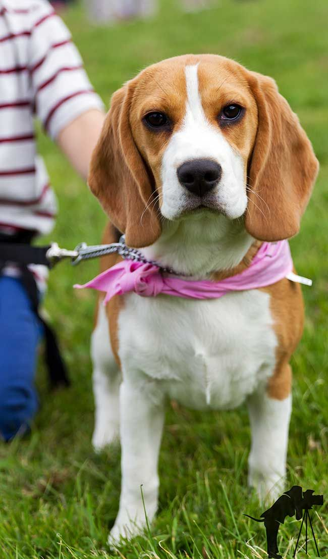 This Six Month Old Beagle Was Photographed At A Recent Event In