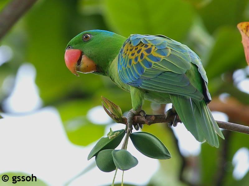 Blue-naped Parrot (Tanygnathus lucionensis) / Большеклювый попугай синешапочный
