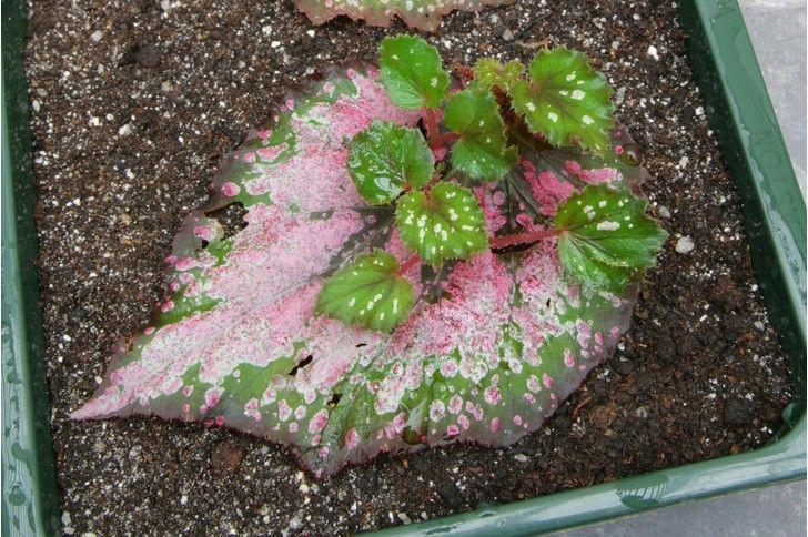 How to take begonia leaf cuttings