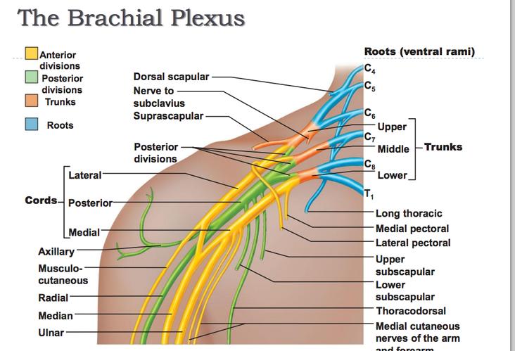 Nerves Arm Shoulder Brachial Plexus Lateral Cord Ranzcrpart1 Wiki Fandom Powered By Wikia Brachial Plexus Products Shoulder Anatomy