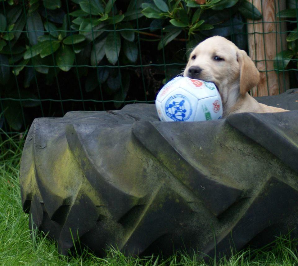 Pin By Volker Muller On Labrador Welpen Puppy Labrador Golden Labrador Retriever