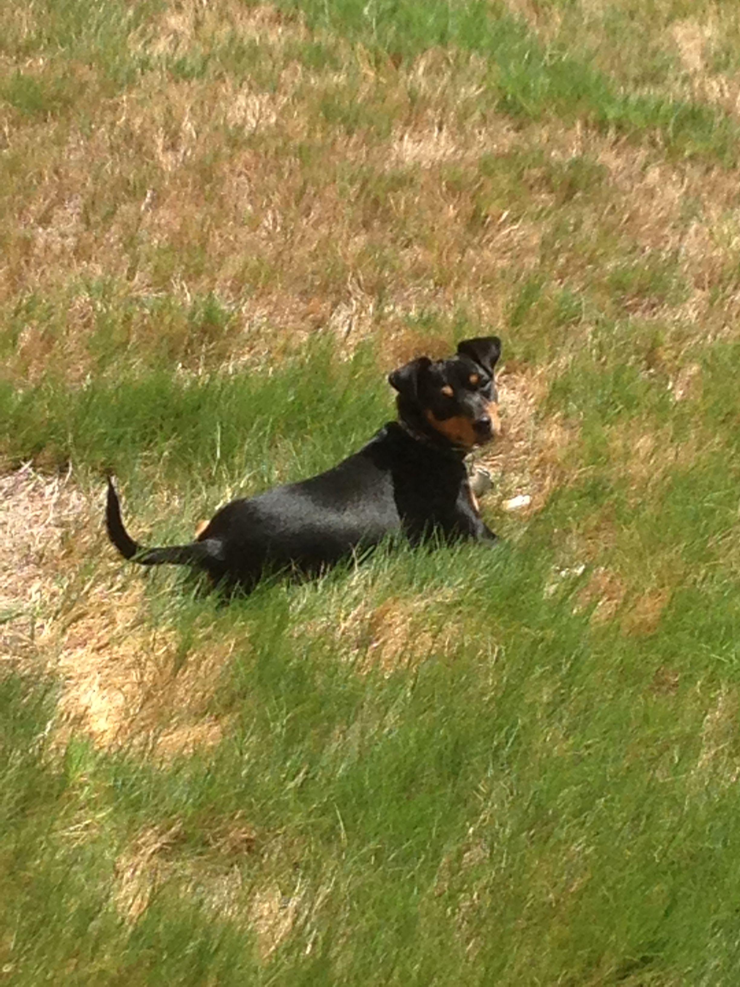 A Closer Look Minature Pinscher Dogs Animals