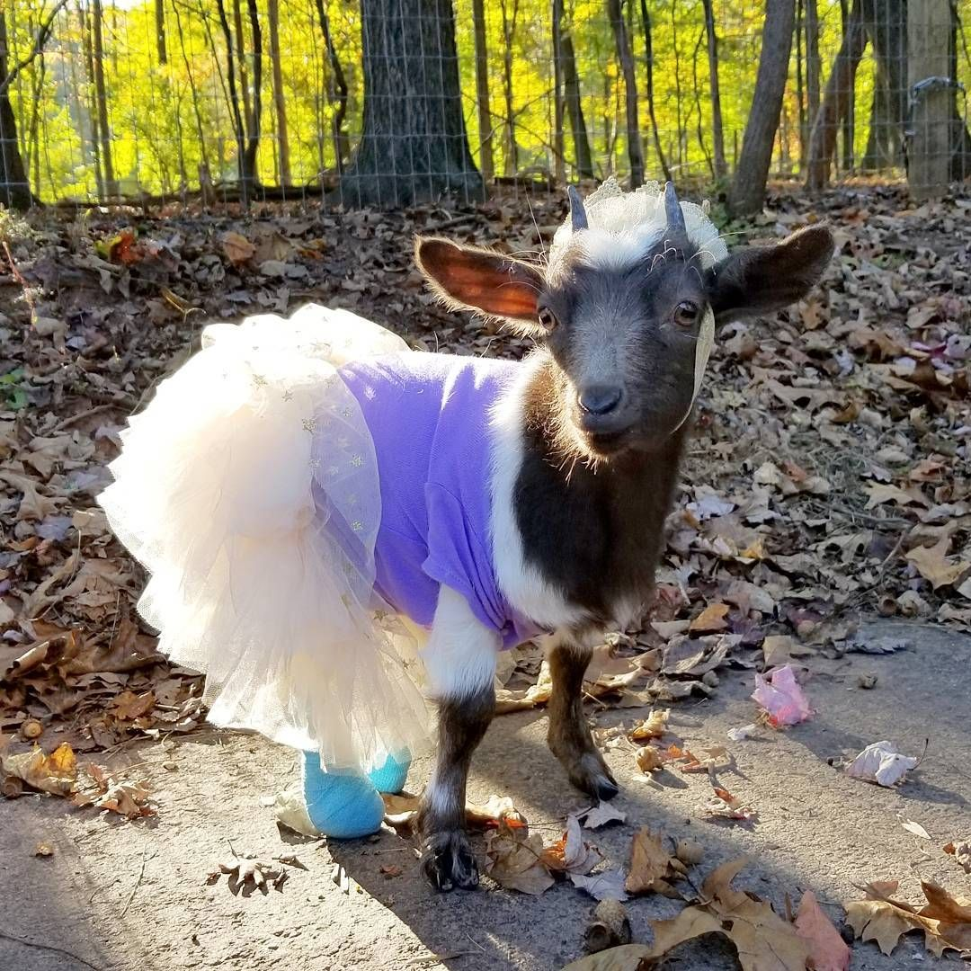 Goats Of Anarchy Is Creating A Sanctuary For Goats With Special Needs Patreon Cute Goats Goats Baby Goats