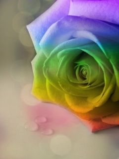 Download Free Rainbow Rose Mobile Wallpaper Contributed By