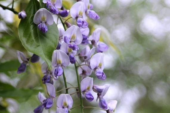 Wisteria and Bokeh, Flower Macro Photography, Digital Download, Nature Lover, Screensaver, Printable
