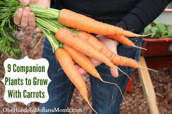 9 Companion Plants To Grow With Carrots Companion 400 x 300